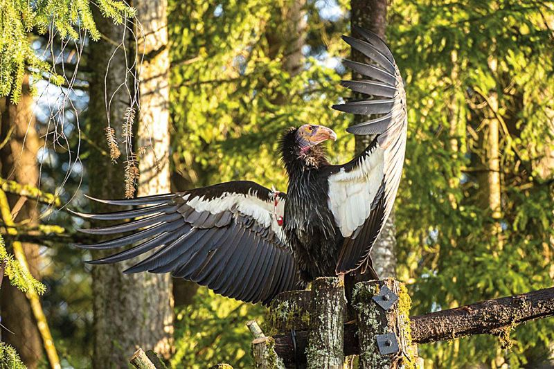 by: COURTESY OF MICHAEL DURHAM/OREGON ZOO - Kaweah, a critically endangered California condor, suns his wings at the Oregon Zoo.