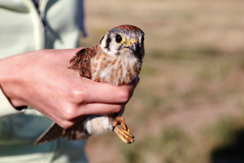 by: COURTESY OF STACIE STRUBLE  - Kelsey Brown holds a kestrel captured for tagging in the countryside near Forest Grove.