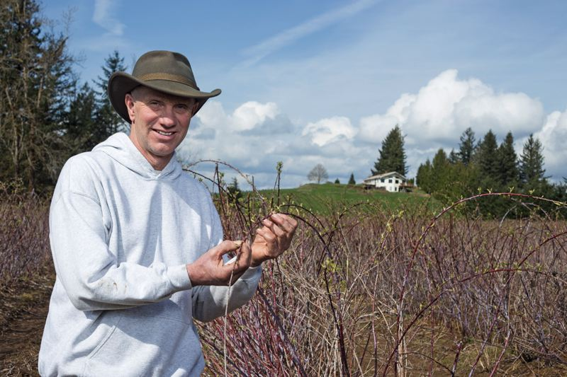 by: PAMPLIN MEDIA GROUP: JONATHAN HOUSE - Don Sturm holds a strand of year-old black raspberry plantings at his Corbett farm.