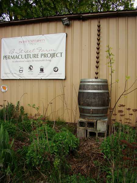 by: COURTESY PHOTO: JENNIFER NELSON - This rain barrel at Forest Groves B Street Farm slows water running from the roof and helps prevent erosion.