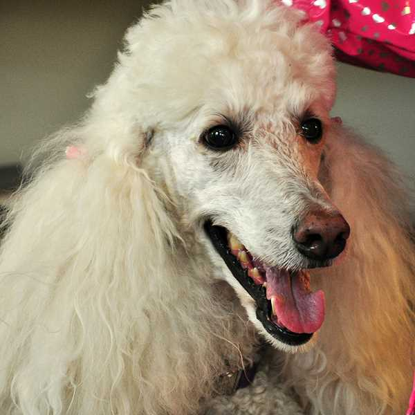 Lena, a poodle, is one of the current Tales to Tails dogs.