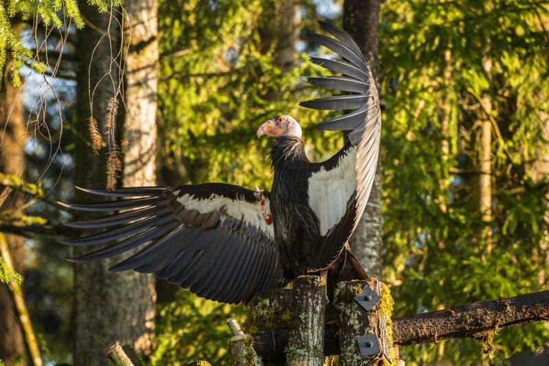 by: PHOTO BY MICHAEL DURHAM - Kaweah (42), a California condor in the 'Condors of the Columbia' habitat at the Oregon Zoo.