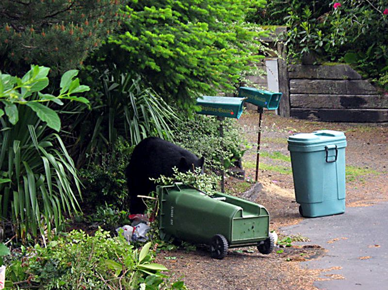 by: CONTRIBUTED PHOTO: OREGON DEPARTMENT OF FISH AND WILDLIFE - Homeowners should secure garbage cans in a garage or shed, or purchase bear-proof cans to avoid bears habituating to an area.