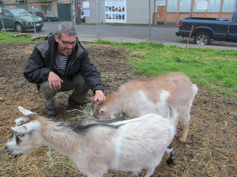by: COURTESY OF DICK TRTEK - Jason Jimenez, one of the owners of the herd, feeds a special mixture of grain to two of the Belmont neighborhood goats. The goats have become a local attraction for residents and schools.
