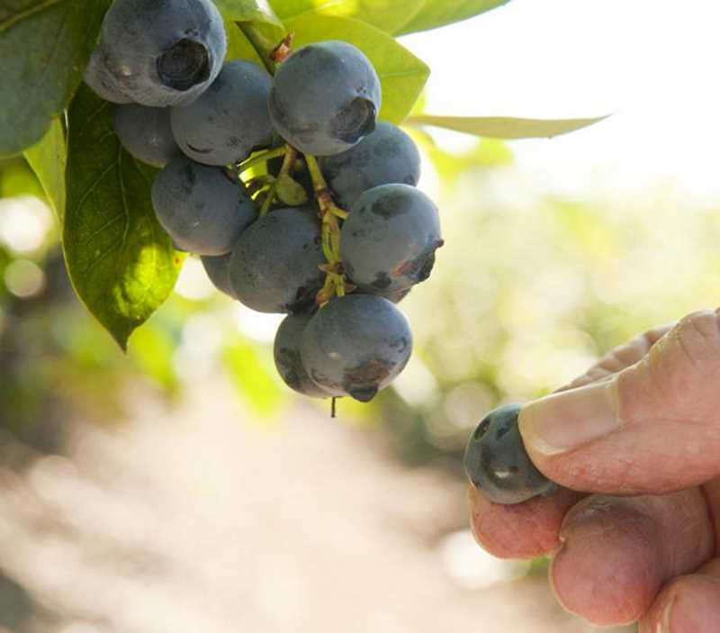 by: COURTESY PHOTO: LYNNE KETCHUM - Blueberries produce ripe fruit from late June through September.