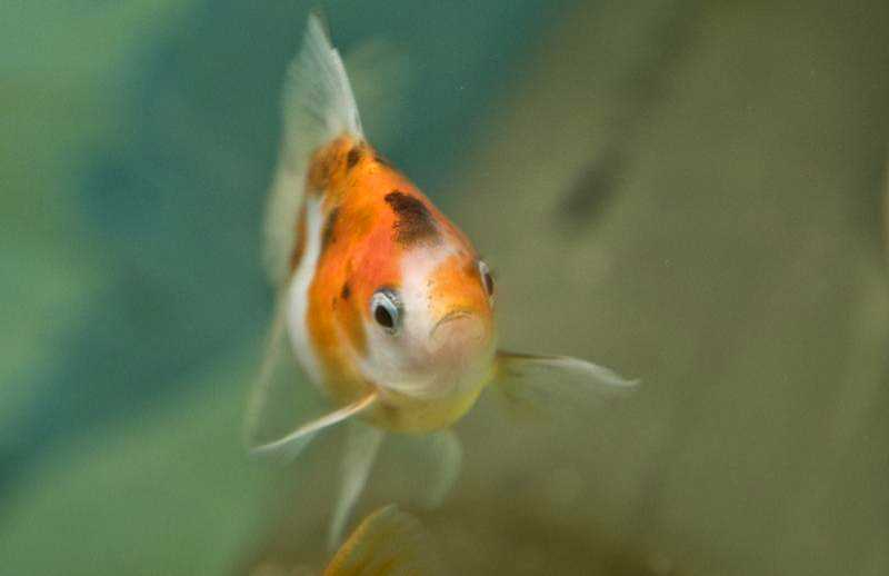 by: COURTESY PHOTO: LYNN KETCHUM - You can raise goldfish in an aquaponics system to provide fertilizer for plants.