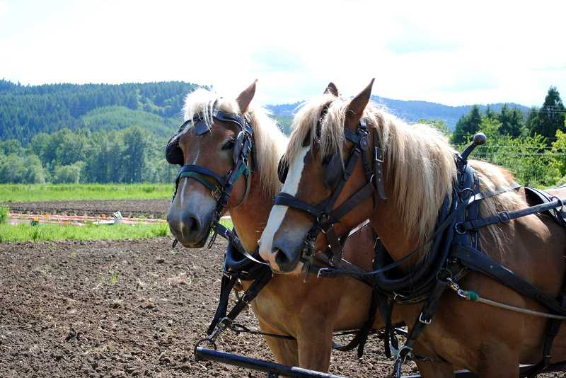 by: NEWS-TIMES PHOTO: STEPHANIE HAUGEN - Gale and Esther (foreground) came from a horse farm in Halfway, Ore. Gale is the muscle and Esther does the thinking, the Nichols brothers said.