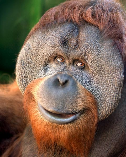 by: COURTESY OREGON ZOO - Metro is reorganizing medical services at the Oregon Zoo after the January death of Kutai, a 20-year-old Sumatran orangutan.