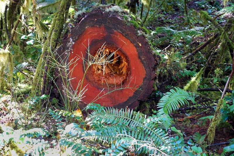by: CONTRIBUTED PHOTO - The U.S. Forest Service is seeking public comment on a proposal to address diseased trees in the Indian Henry Campground area. The site is in a 'laminated root rot pocket'- a disease that kills trees such as the Douglas Fir pictured above. The proposal calls for wide-scale felling of Douglas Fir and western hemlock trees near the campground in an effort to remove trees susceptible to the disease. Under the proposal, the area would be replanted with more disease-resistant tree species.