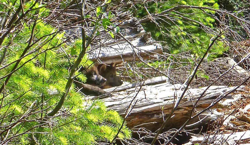 by: PHOTO COURTESY US FISH AND WILDLIFE SERVICE - Wolf pups were spotted by biologists Monday in Rogue River-Sikiyou National Forest in southwest Oregon.