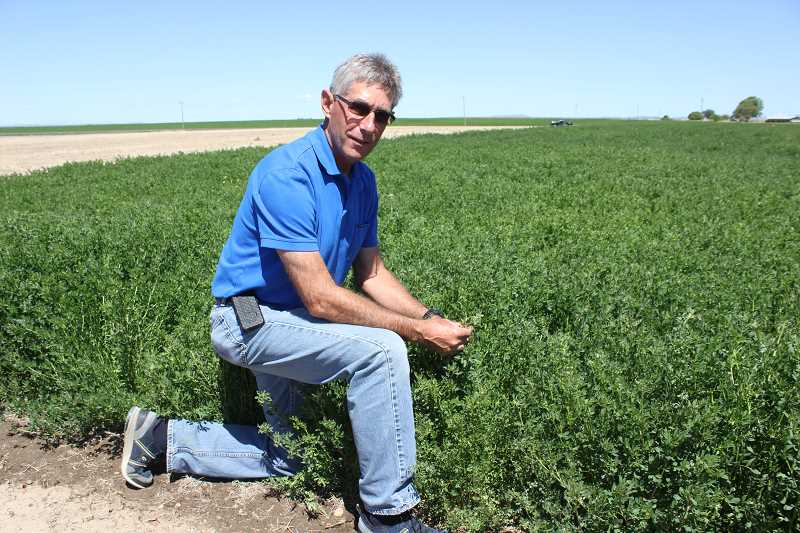by: SUSAN MATHENY/MADRAS PIONEER - Marvin Bulter checks an alfalfa trial field at COARC.