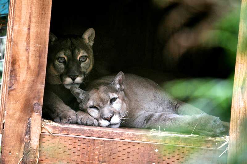 by: FILE PHOTO - Wildcat Haven Sanctuary has agreed to pay a $5,600 fine after its head keeper was killed in November 2013.