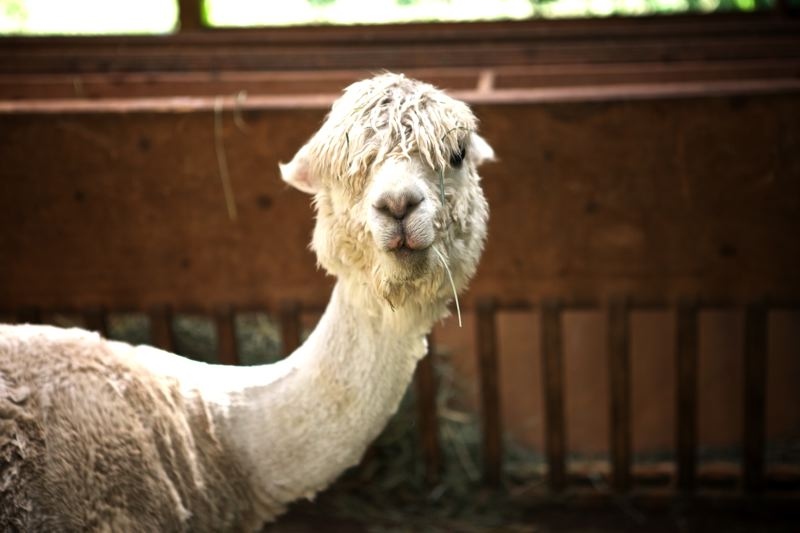 by: TIMES PHOTO: JAIME VALDEZ - The Smiths currently have four alpacas, two of which are expecting babies sometime in August.