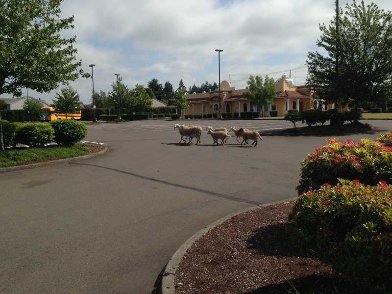 by: COURTESY OF SHERWOOD POLICE DEPARTMENT - Sheep scamper through a parking lot off of Borcher's Road Monday.
