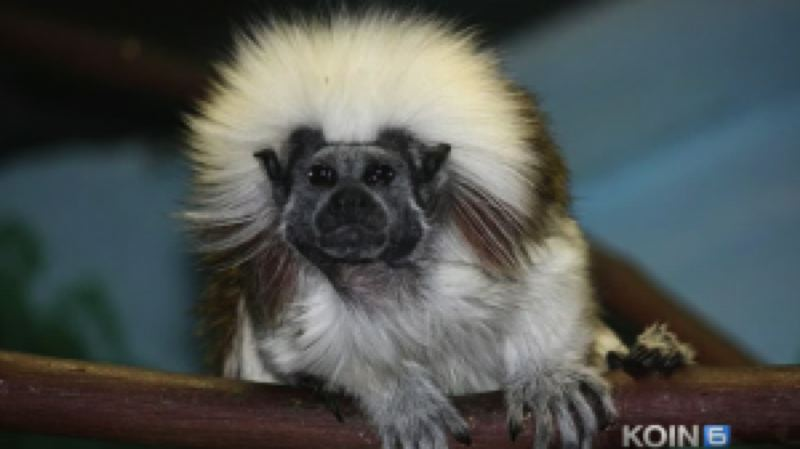 by: KOIN NEWS 6 - Six tamarin monkeys, similar to the one picture here, died suddenly two days after arriving at the Oregon Zoo from Boston.
