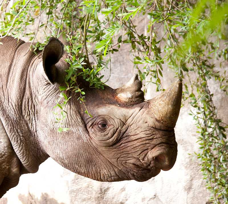 by: COURTESY PHOTO: CARLI DAVIDSON - Zuri, an eastern black rhino, is a favorite of visitors to the Oregon Zoos Africa Savanna habitat. The zoos Bowling for Rhinos fundraiser takes place Saturday at Sunset Lanes in Beaverton.