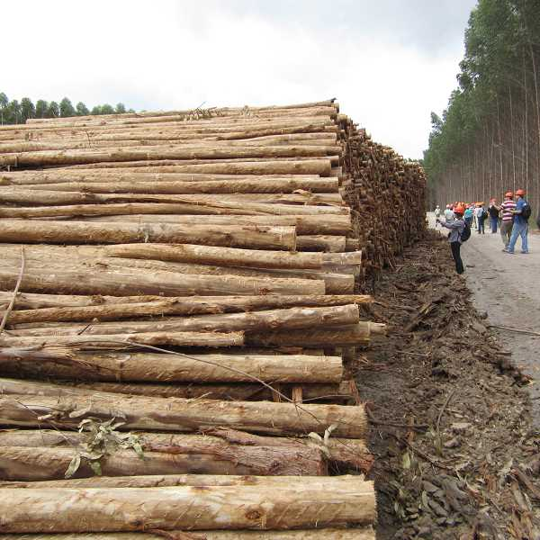 by: COURTESY PHOTO: STEVE STRAUSS - Eucalyptus logs await shipment at a plantation in Brazil.