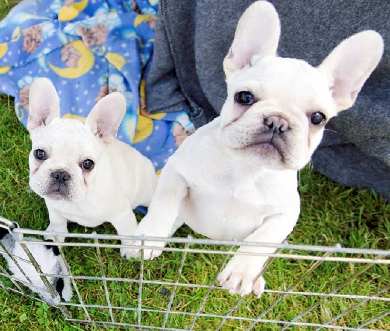 French bulldog puppies Jameson and Dublin, owned by Shirley Stephenson, of Eugene, check out a visitor to their pen at the Clackamas County Kennel Club All Breed Dog Show.