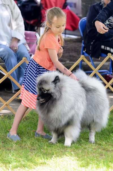 Ava Linton, 6, strokes the coat of Riley, a 1-year old Keeshond, as they await judging in the best of breed competition. She has been showing dogs since she was 3. Her parents are Amy and Andy Linton, of Vancouver, Wash.