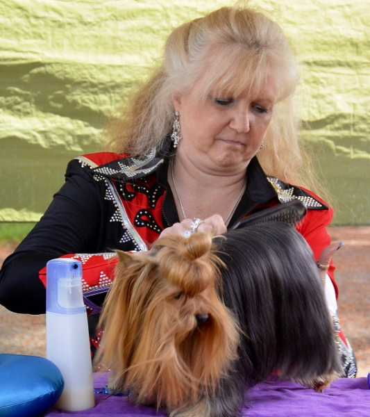 J.R. Stoltenberg, of Tualatin, runs a comb through the silky coat of her 3-year old Yorkshire terrier, Ch. So Sweet Luv Ty De Laurent.