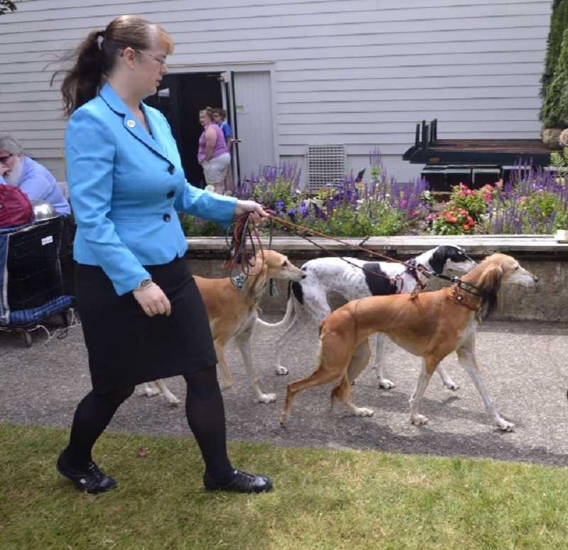 An owner exercises her trio of regal Salukis.