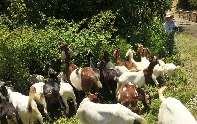 by: TIDINGS PHOTO: VERN UYETAKE - The goats may return later this summer at Wilderness Park.