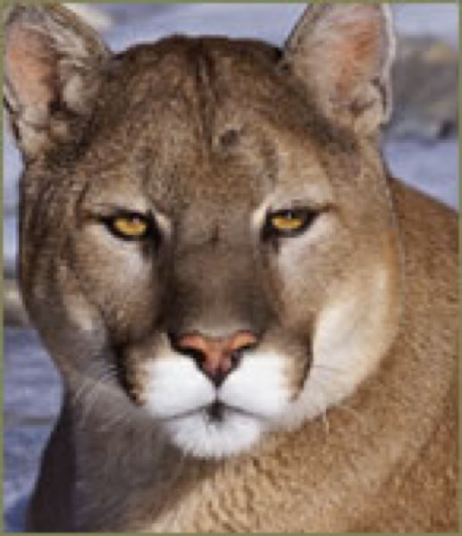 by: COURTESY OREGON DEPARTMENT OF FISH AND WILDLIFE - State and local officials say call 9-1-1 if you spot a cougar.