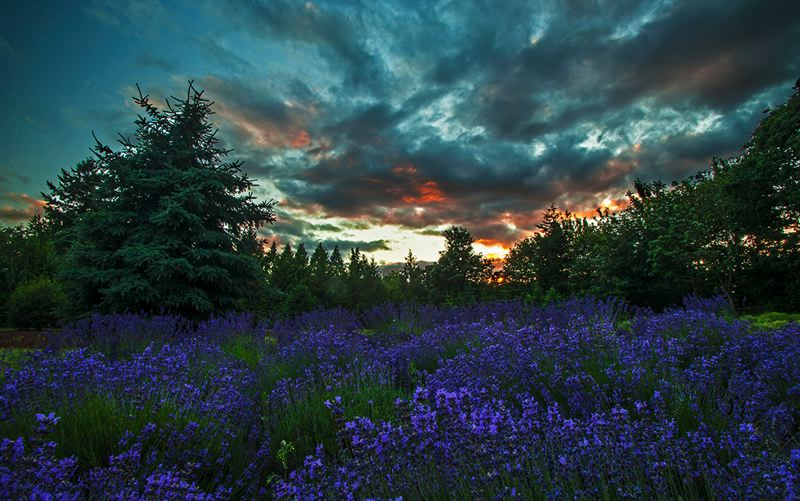 by: SPOKESMAN PHOTO: JOSH KULLA - Sunset at Barn Owl Lavender farm in Stafford is as relaxing as it gets. Owner Chris Mulder hopes patrons feel the same way during the July 12-13 Oregon Lavender Festival.