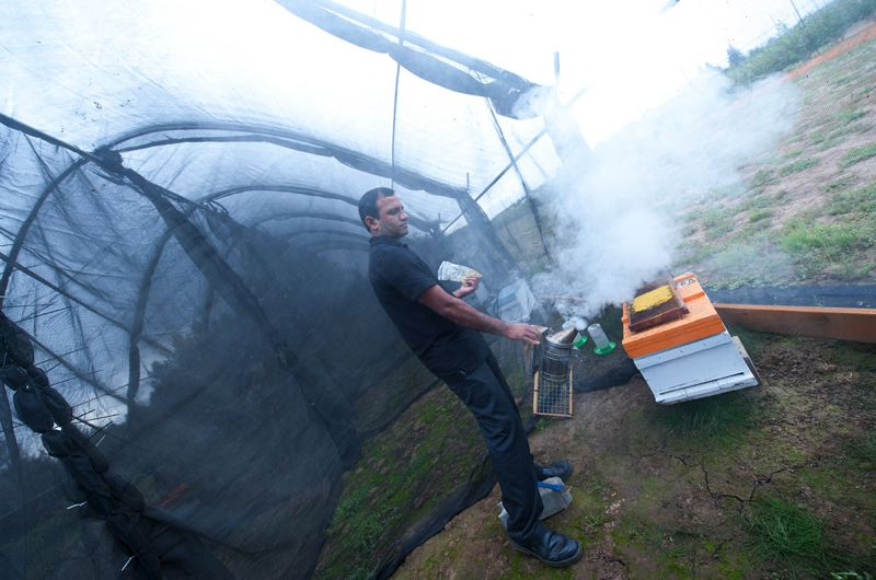by: PHOTO BY LYNN KETCHUM, COURTESY OF OSU - OSU entomologist Ramesh Sagili blows smoke in a hive to calm the bees.