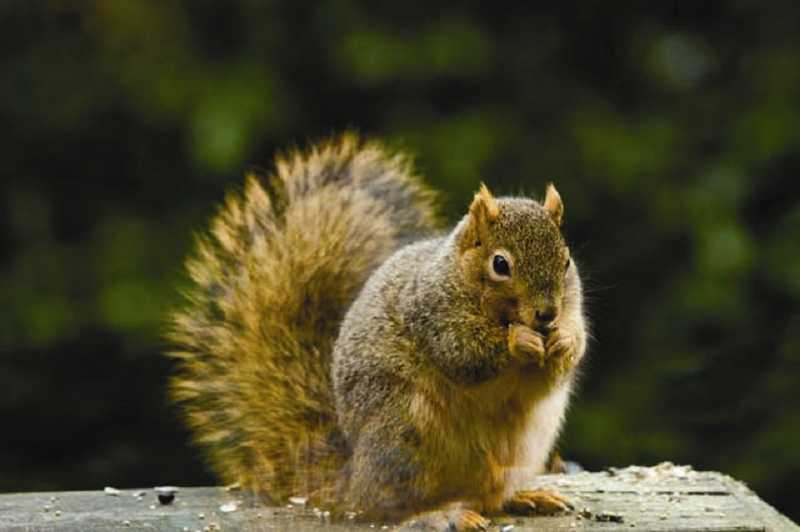 by: FILE ART - From June 12 through July 7, four substation outages on the Westside and in North Portland were caused by adorably nimble, fluffy-tailed and unintentionally suicidal squirrels.