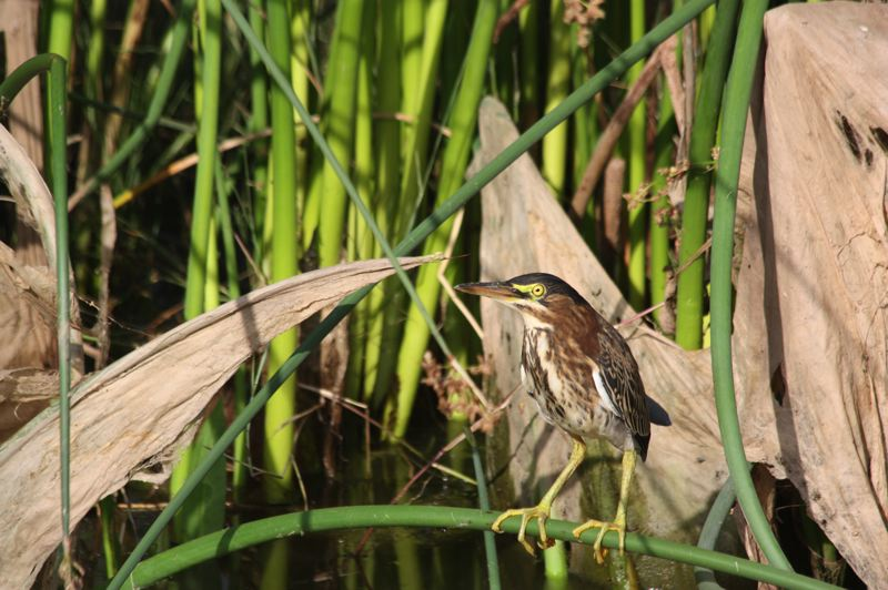 by: HILLSBORO TRIBUNE PHOTO: DOUG BURKHARDT - A wary green heron wartches and waits for food to appear in the stream where he is lurking at the Fernhill Wetlands area near Forest Grove. Green herons dine on fish and amphibians.