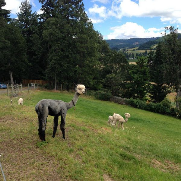 by: PHOTO BY MICHELE BERNSTEIN - A mama alpaca hangs out in the pasture with her babies at Cascade Alpacas of Oregon in Hood River.