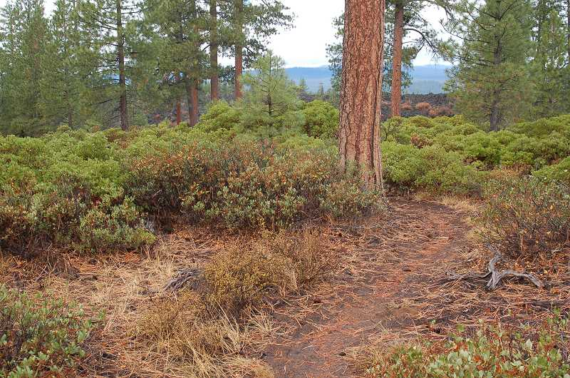 by: SCOTT STAATS SPECIAL TO THE CENTRAL OREGONIAN - Ponderosa pines and manzanita bushes line the Black Rock Trail.
