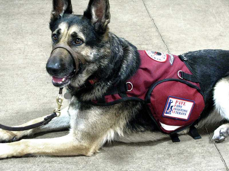 by: OUTLOOK PHOTO: LAURA KNUDSON - One of the PAVE Service dogs in training gets used to her new service vest.