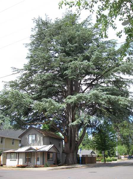 Photo Credit: GAZETTE PHOTO: RAY PITZ - This 115-year-old Cedar of Lebanon is slated to come down next week due to damage caused by a storm (see missing branch) two years ago.