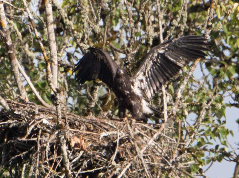 Photo Credit: COURTESY PHOTO: STEVE HALPERN - The 12-week-old eaglet flaps and hops in the nest, but hasnt yet jumped out.