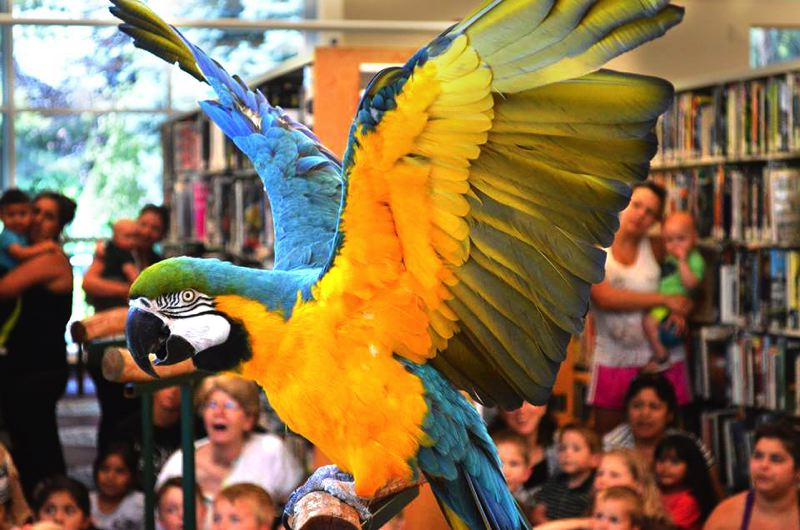 by: CONTRIBUTED PHOTO - Gracie, a Blue and Gold Macaw flaps her wings at the Gresham Library, where Anderson hosted a show in early July.