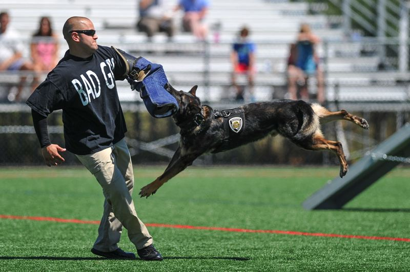 by: TIMES PHOTOS: JOHN LARIVIERE - Beaverton Police Officer Jered Lutu playing the bad guy is apprehended by K-9 Officer Kahz during the Beaverton Police K-9 Unit demonstration during the Party in the Park.
