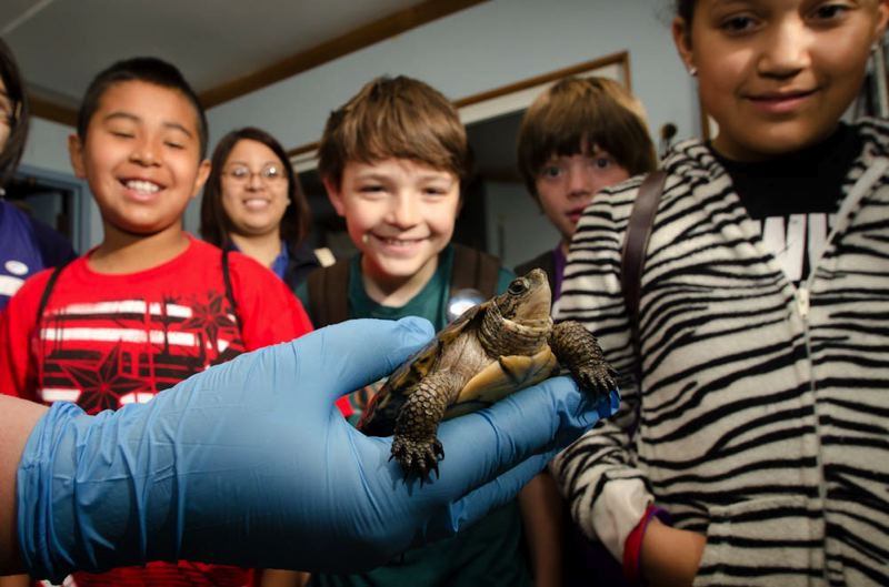 Photo Credit: PHOTO BY MICHAEL DURHAM, COURTESY OF OREGON ZOO - Oregon Zoo campers get a close-up look at an endangered Western pond turtle, bred at the zoo but ultimately released into the wild.