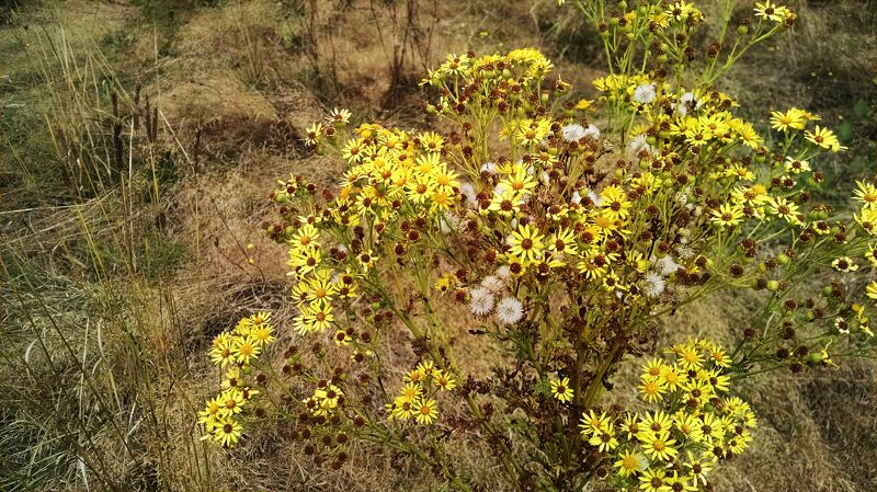 Photo Credit: OUTLOOK PHOTO: CARI HACHMANN - Tansy ragwort, or ragweed, has dark green leaves and numerous seed heads with yellow flowers.