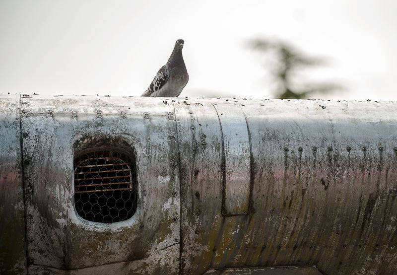 Photo Credit: SPOKESMAN PHOTO: JOSH KULLA - The pigeons that long ago took up residence inside the wings and fuselage of the Lacey Lady were evicted July 13 as the B-17 was lowered to the ground for cleaning and shipment to Aurora Airport for eventual restoration.