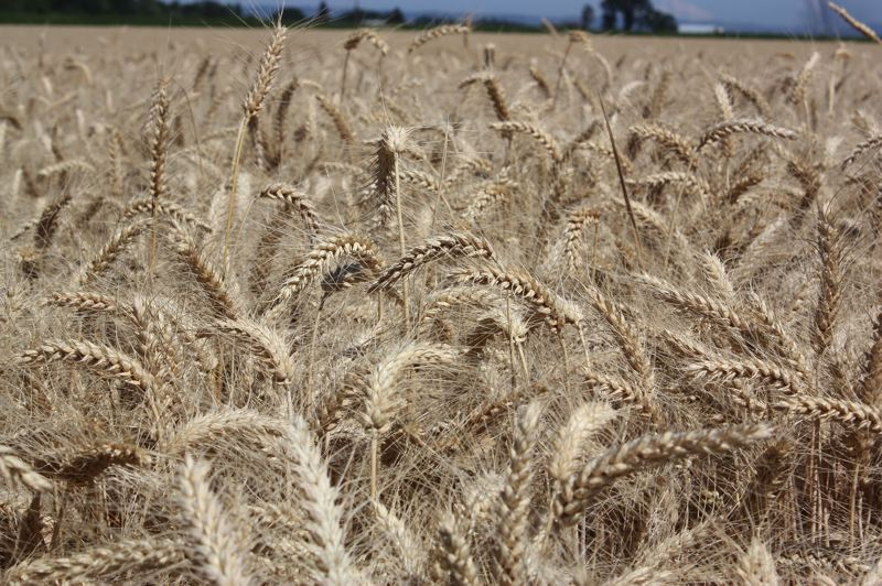 Photo Credit: HILLSBORO TRIBUNE PHOTO: DOUG BURKHARDT -  A closeup of wheat growing in a field just outside Banks.