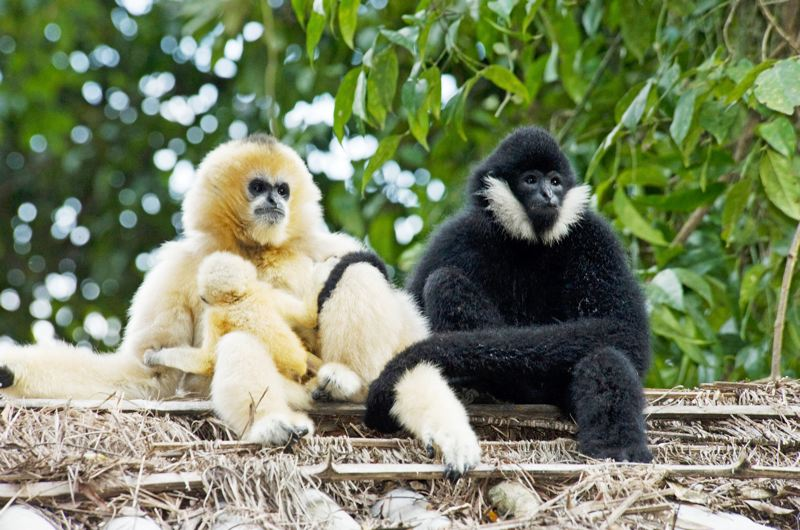Photo Credit: COURTESY PHOTO - Because apes -- such as these gibbons from Southeast Asia -- are genetically similar to humans, studying them helps researchers understand genetic factors in human health and disease.