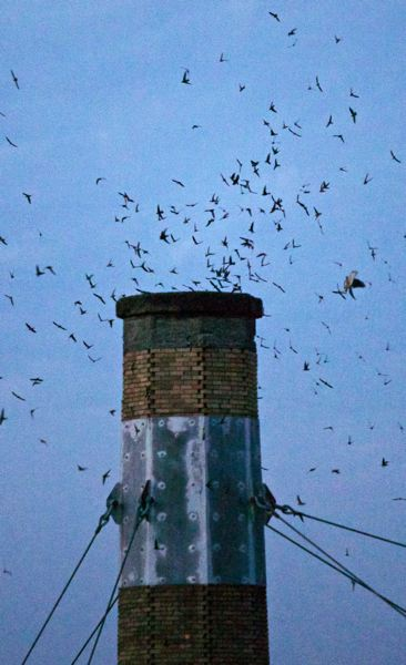 Photo Credit: TRIBUNE PHOTO: JAIME VALDEZ - There arent quite as many Vaux Swifts making their way into the Chapman School chimney this year - some nights only about 4,000 - but the crowds coming to watch the annual phenomenon continue to grow to 3,000 or more.