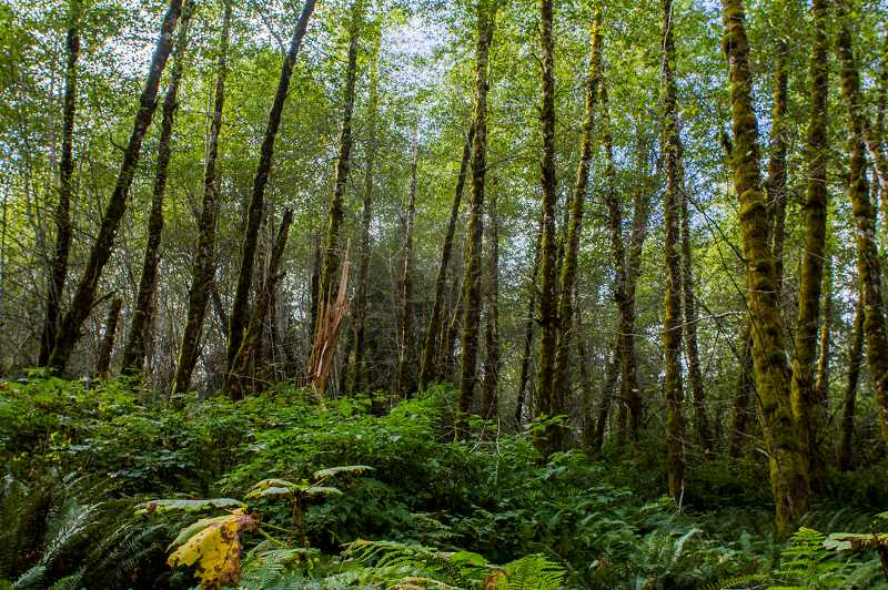 Photo Credit: NEWS-TIMES PHOTO: CHASE ALLGOOD - This forestland, about 20 miles from the coast as the crow flies and populated with big, old trees, is ideal for the marbled murrelets, a threatened sea bird.