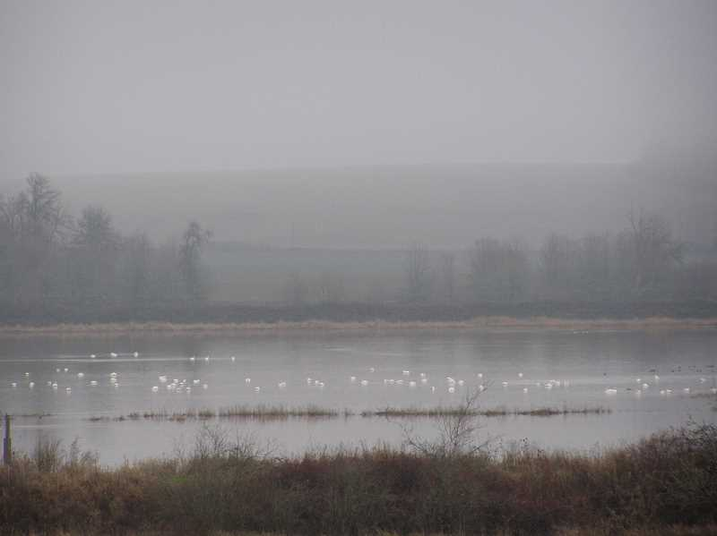 Photo Credit: COURTESY PHOTO: U.S. FISH AND WILDLIFE SERVICE - Tundra swans dot the surface of flooded fields that once held the year-round Wapato Lake, a premier stop for migrating birds on the Pacific flyway. A restoration project could recreate the year-round lake.