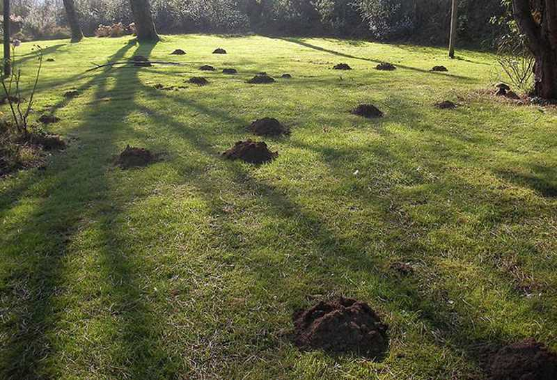 COURTESY PHOTO - Moles, voles and gophers can drive homeowners crazy.