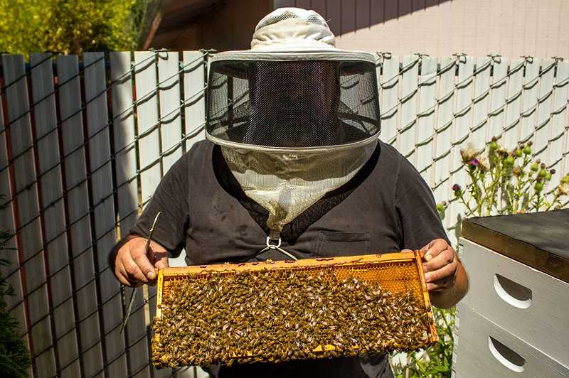 Forest Grove resident Mike Standing holds an extracted honeycomb covered in worker bees. After removing the honeycomb trays, he places them in a machine and spins the honey free.