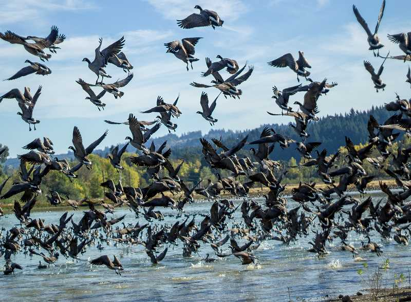 NEWS-TIMES PHOTO: TRAVIS LOOSE - Each fall, cackling geese (a smaller version of Canadian geese) descend on Fernhill Wetlands in Forest Grove by the thousands. This year, at least 20 have turned up dead.