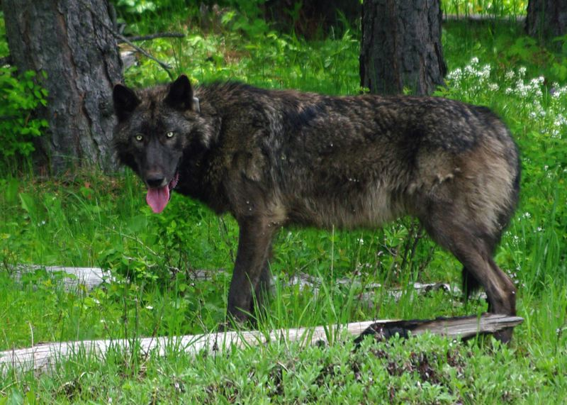 COURTESY: ODFW - Wolves in Northeast Oregon have been taken off the federal endangered species list but remain on the state list. Now they're eligible for delisting in Oregon.